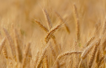 wheat-3241114_1920.jpeg